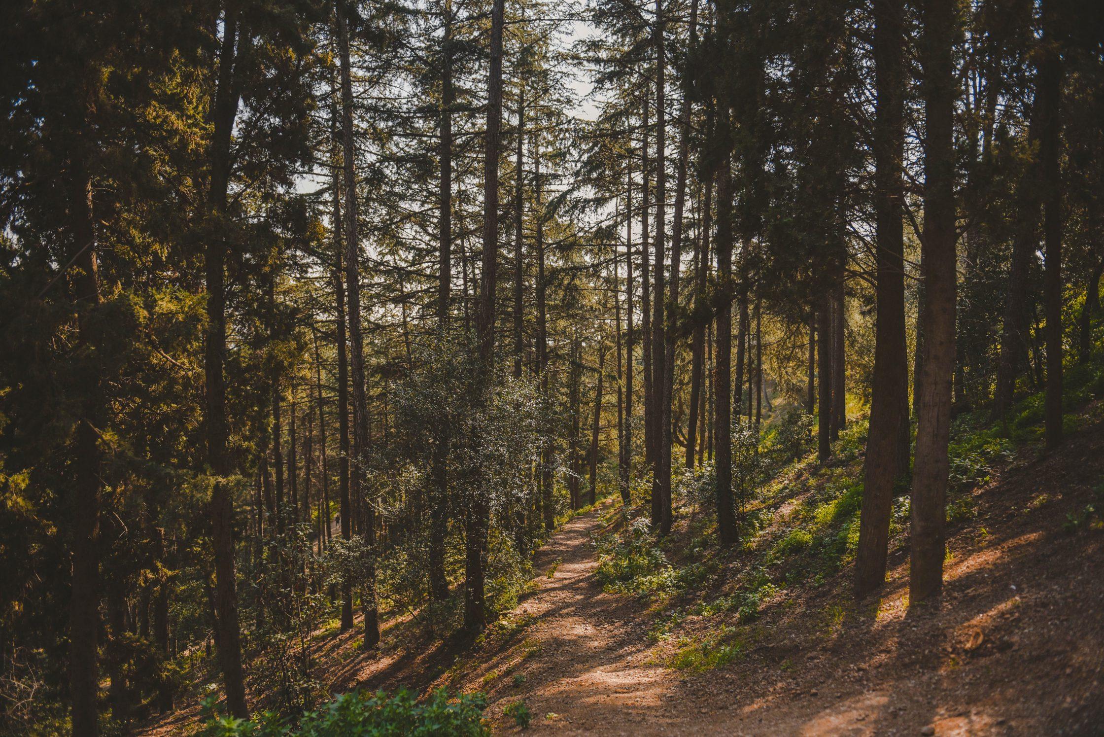 Wald mit Nadelbäumen